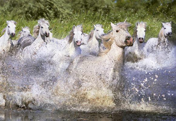 """Картонен пъзел """"Бели коне от Камарг"""" - 1000 части"""